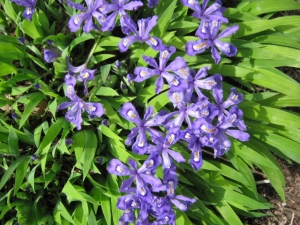 Iriscristata2